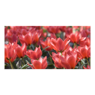 Red tulips customized photo card