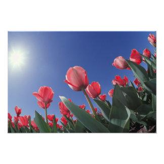 Red tulips from very low angle, Cincinnati, Photo Print