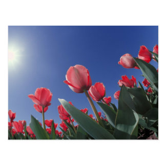 Red tulips from very low angle, Cincinnati, Postcard