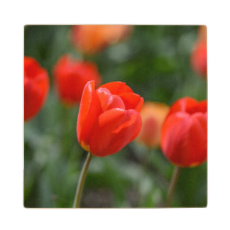 Red Tulips in the Garden Wooden Coaster
