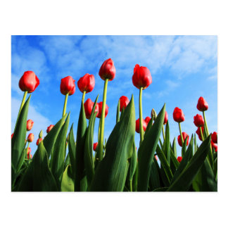 Red Tulips in the Sun Postcard