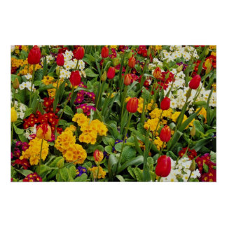 Red Tulips, pansies, daisies and primulas flowers Poster