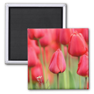 Red Tulips Photo 2 Inch Square Magnet