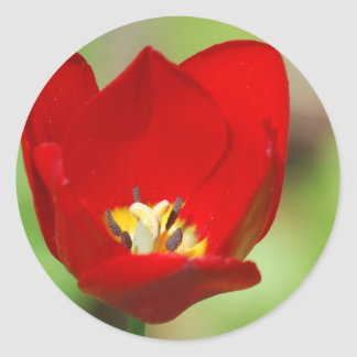 Red Tulips Stickers