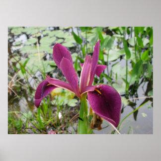Red-Violet Louisiana Iris Poster