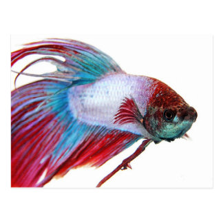 Red White & Blue (Fish on white background) Postcard