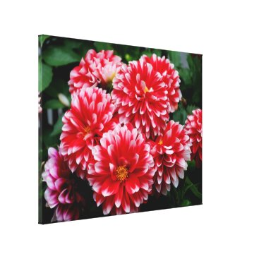 franwestphotography Red & White Dahlias Canvas Print