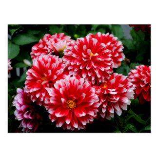 Red & White Dahlias Postcard