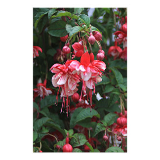 Red & White fuchsia flowers in bloom in garden Stationery