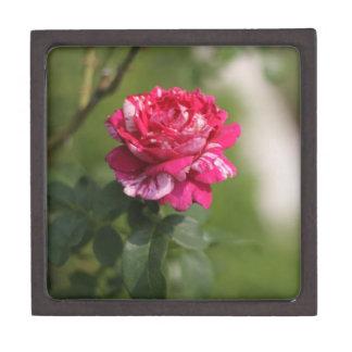 Red & White Hybrid Tea Rose.JPG Premium Jewelry Boxes
