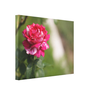 Red & White Hybrid Tea Rose Stretched Canvas Print