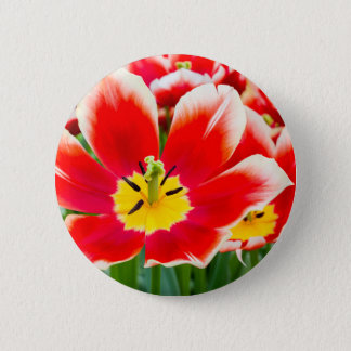 Red white tulip in field of tulips button