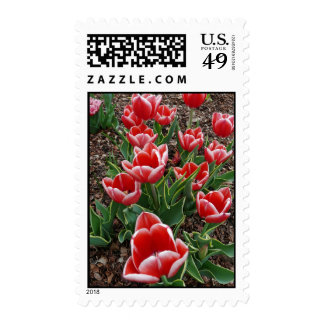 Red & White Tulips Postage Stamp