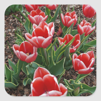 Red & White Tulips Square Stickers
