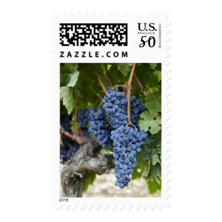 Red wine grapes on the vine postage