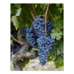 Red wine grapes on the vine print
