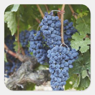 Red wine grapes on the vine square sticker