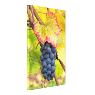 Red Wine Grapes on Vine with Fall Season Foliage Canvas Print