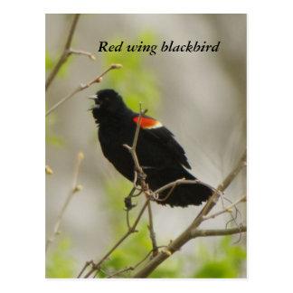 Red- wing blackbird postcard