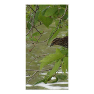 red winged black bird Fishing from a tree branch Card
