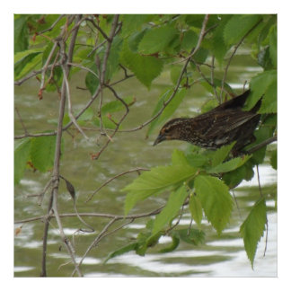 red winged black bird Fishing from a tree branch Art Photo