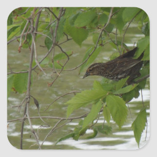 red winged black bird Fishing from a tree branch Square Sticker
