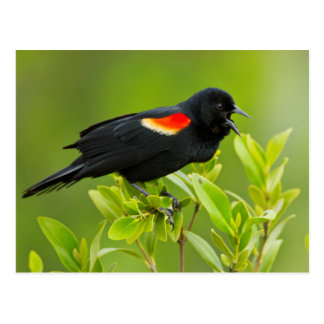 Red-Winged Blackbird (Agelaius Phoeniceus) Male Postcard