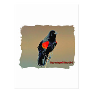 Red-winged Blackbird Art Postcard