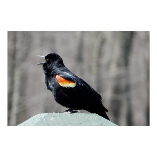 Red Winged Blackbird Call to Spring Poster