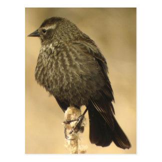 Red-winged Blackbird female2 Postcard