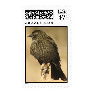 Red-winged Blackbird female 2 Postage