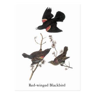 Red-Winged Blackbird, John Audubon Postcard