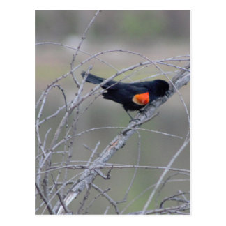 Red-winged Blackbird on a Branch Postcard