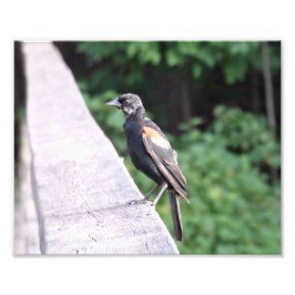 Red Winged Blackbird Photographic Print