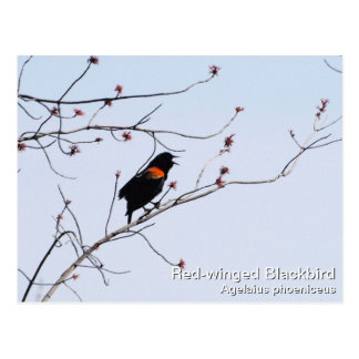 Red-winged Blackbird Postcard