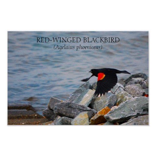 RED-WINGED BLACKBIRD - poster / print