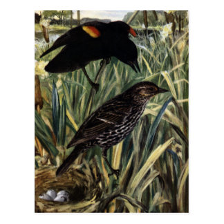 Red-Winged Blackbirds and Nest in Cattails Postcard