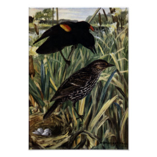 Red-Winged Blackbirds and Nest in Cattails Poster