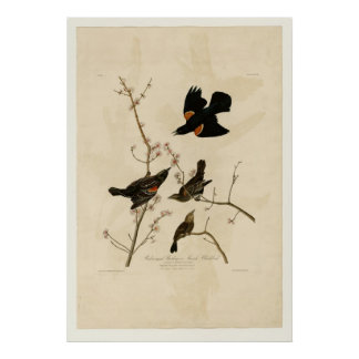 Red winged Starling Poster