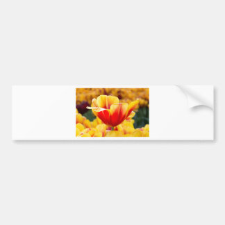 Red with yellow tulip in flowers field bumper sticker