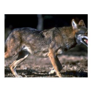Red Wolf Postcard