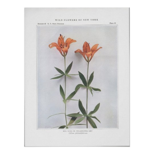 Red, Wood, or Philadelphia Lily Poster