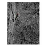 Red Woodpecker Postcard