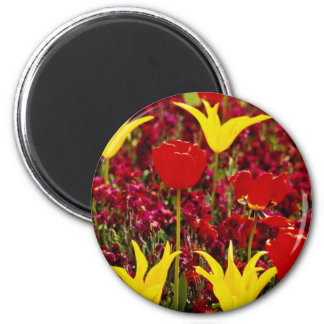Red Yellow and red tulips with red wallflower back Magnets