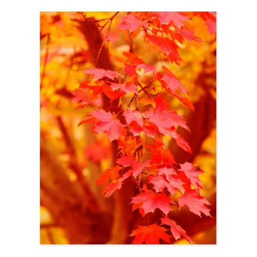 RED YELLOW AUTUMN LEAVES FALL MAPLE NATURE BEAUTY POSTCARD