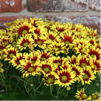 Red Yellow Flowers against brown red brick wall Photo Sculpture Button