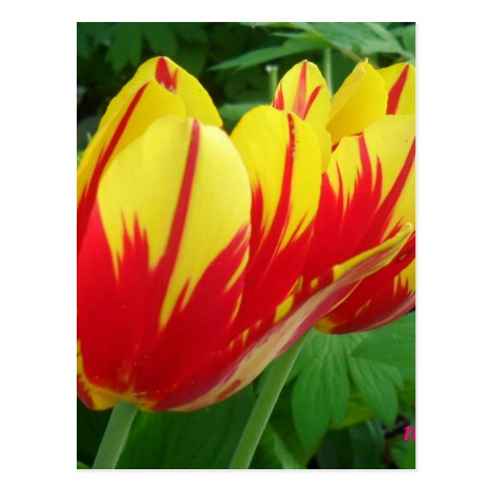 red yellow tulips postcard