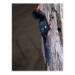 Redbilled Wood Hoopoe Postcard
