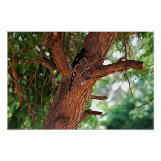 Redbilled Woodhoopoe bird Poster