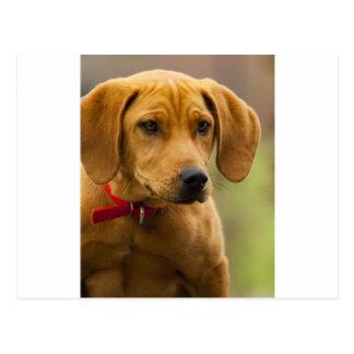 Redbone Coon Hound Dog Puppy Postcard
